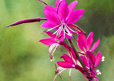 fuschia-flower